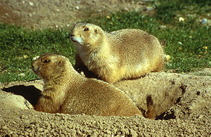 Black-tailed prairie dog - Two adults