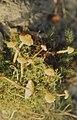 Cystoderma amianthunum (shaggy), Llanwonno (31022202125).jpg