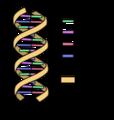 DNA simple2-es.png