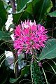 DSC09406 - Niagara Flower (36825603410).jpg
