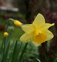 The Daffodil, Japan's floral emblem of January