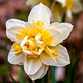 Daffodil (17984896951).jpg