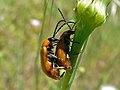 Daffodil Leaf Beetles (Exosoma lusitanicum) mating (8332278409).jpg
