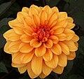 "Dahlia (""David Howard"" cultivar).jpg"