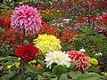Dahlia - Indian Botanic Garden - Howrah 2012-01-29 1768.JPG