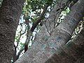Daini Jamu (Assamese- ডাইনী জামু) (8460637039).jpg