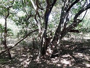 Dalbergia melanoxylon (tree).jpg