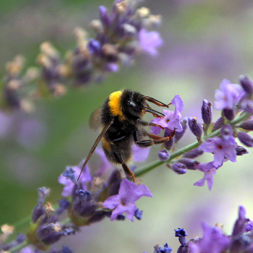 Danish bumblebee on lavendar.jpg