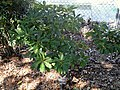 Daphniphyllum humile - J. C. Raulston Arboretum - DSC06129.JPG