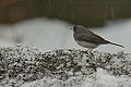Dark Eyed Junco (8453235687).jpg