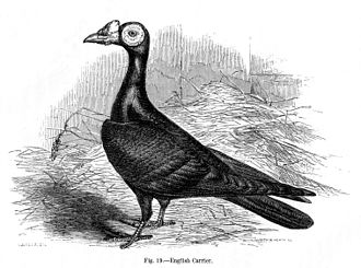 The Variation of Animals and Plants under Domestication - English carrier pigeon – one of many domesticated varieties deriving from the wild Columba livia or rock dove