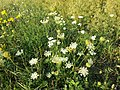 Daucus carota subsp. carota sl9.jpg