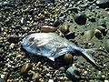 Dead creatures of the Mediterranean sea.jpg