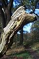 Dead tree branch in Home Wood - geograph.org.uk - 1587438.jpg