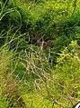 Deer-chitwan national park.jpg