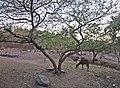 Deer in Pradyuman Park l Rajkot l Gujarat.jpg