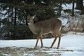 Deer on Drummond Island.jpg