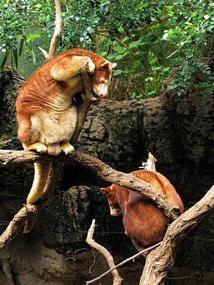 Matschie's tree-kangaroo - At the Bronx Zoo, New York City