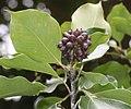 Dendropanax trifidus (fruits s2).jpg