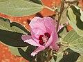 Desert rose (Gossypium australe).jpg