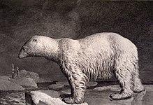Ursidae wikip dia - Dessin d un ours ...