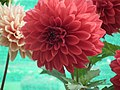 Dhalia from Lalbagh flower show Aug 2013 7931.JPG