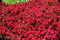 Dianthus chinensis Telstar Crimson 4zz.jpg