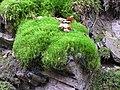 Dicranum scoparium 2005.11.13 12.32.51-pb130023.jpg