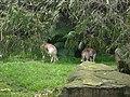 Dingos (1507291786).jpg