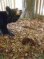 Diorama - Bk Bear P6070778.JPG