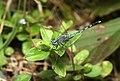 Diplacodes trivialis-Ground skimmer,male.jpg