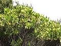 Dodonaea viscosa Jacq. (AM AK330062-4).jpg