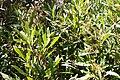 Dodonea viscosa angustifolia - Sand Olive - Cape Town.jpg