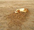 Dog is Sleeping on the Juhu Beach.jpg