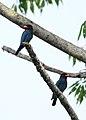 Dollarbird Manas National Park Assam India April 2019.jpg