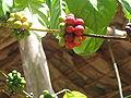 Dominica cocoa3.JPG