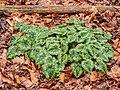 Doorweekt blad van Cyclamen hederifolium na langdurige motregen.jpg