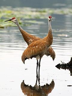 Crane (bird) clade of birds
