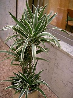 Dracaena deremensis1.jpg