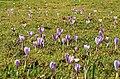 Drebacher Krokuswiesen 2H1A4648WI.jpg