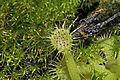 Drosera rotundifolia Linnaeus, 1753 300-3-9806.JPG