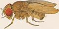 Drosophila ananassae female.png