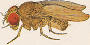 Drosophila ananassae - Drosophila ananassae - Female