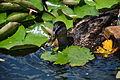 Duck (3704713545).jpg