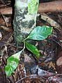Dysoxylum rufum small tree.jpg