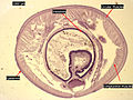Earthworm Crosssection Stained Microscope Slide Labeled.jpg