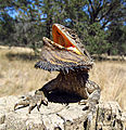Eastern Bearded Dragon (Pogona barbata) (8237077424).jpg