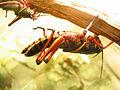 Eastern Lubber Grasshopper 05.jpg