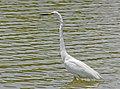 Eastern great egret, Nagai Park, Osaka.jpg