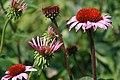 Echinacea purpurea Magnus 6zz.jpg